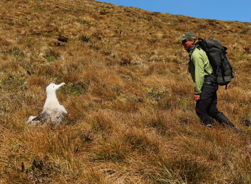 The Takeover: Another poor breeding season for Tristan albatross