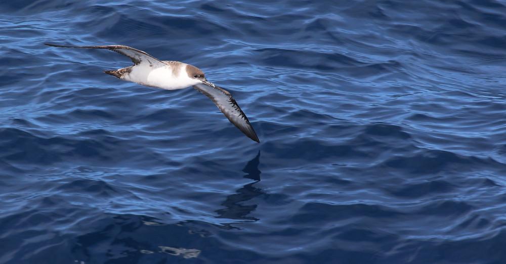 Great shearwater Tristan da Cunha