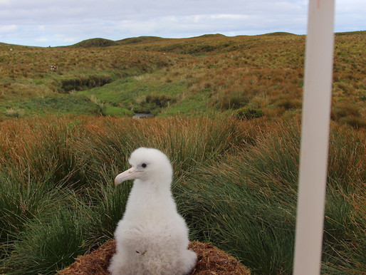 What would you say, to an albatross chick?