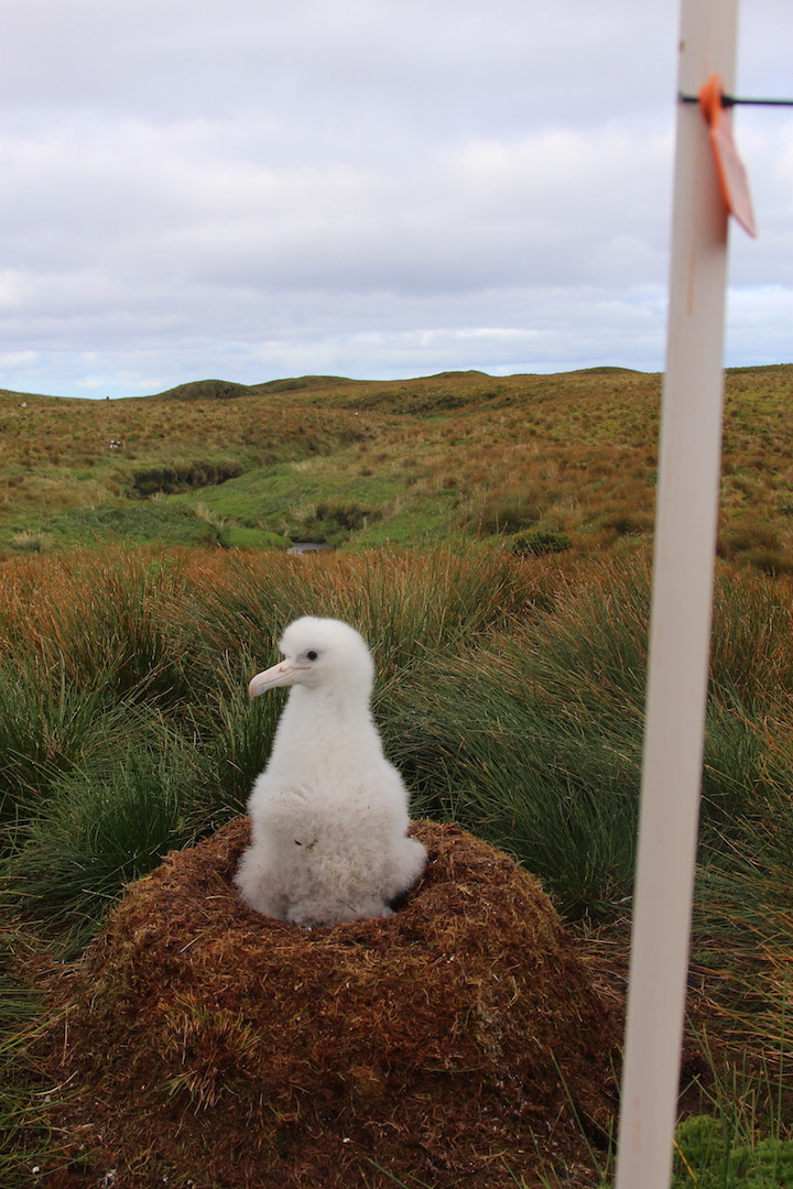 This chick in one of our study nests is now old enough to be left alone! (Jaimie Cleeland)