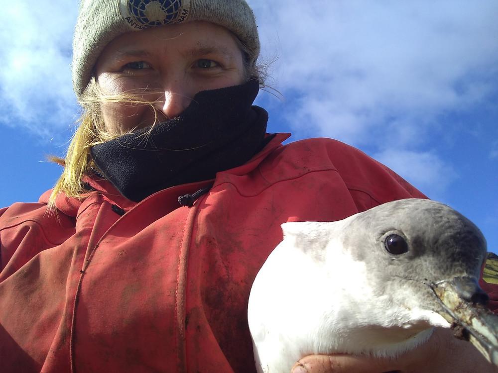Jaimie retrieving a geolocator from a grey petrel