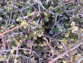 Alpine Flower a Day: Scrambling Pohuehue