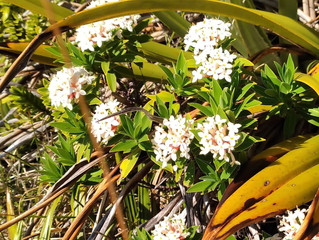 Alpine Flower a Day: Tāranga