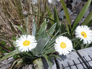 Alpine Flower a Day: Large Mountain Daisy