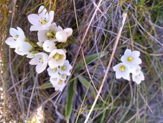 Alpine Flower a Day: Gentian