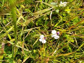 Alpine Flower a Day: Swamp Musk