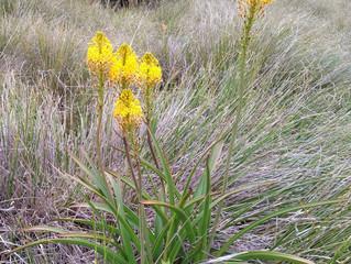 An Alpine Flower a Day: Māori onion