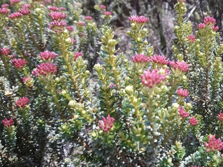 Alpine Flower a Day: Tauhinu
