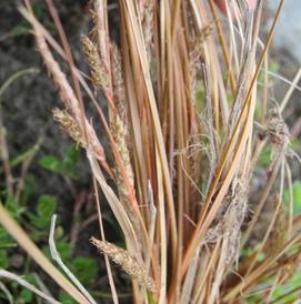 Alpine Flower a Day: – Buchanan's Sedge – A month complete!