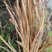 Alpine Flower a Day: – Buchanan's Sedge – A month complete!