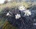 Alpine Flower a Day: Common mountain daisy, pekapeka
