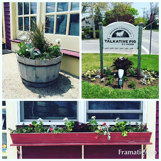 New Spring Plantings _thetalkativepig today! #chatham #gardeningcrew2016 #thetalkativepig #capecodtr
