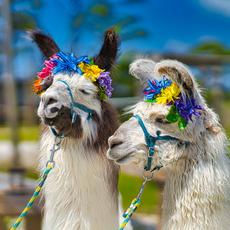 Llama Love.png