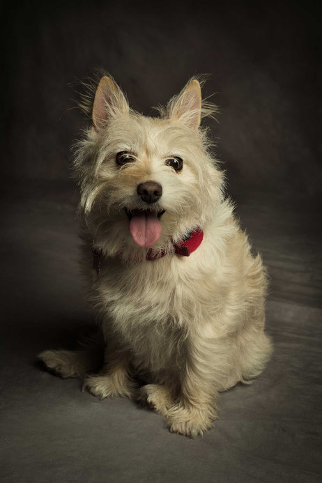 West Highland Terrier X