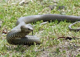 Brown snake.JPG