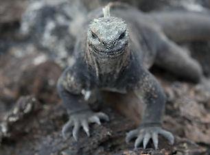 Lizard - Davis Pan.jpg