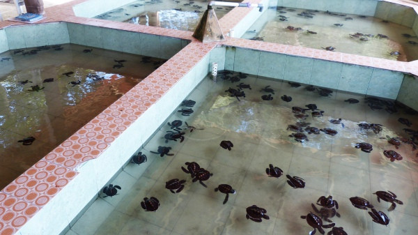 Baby turtles at turtle sanctuary on the Gili Islands