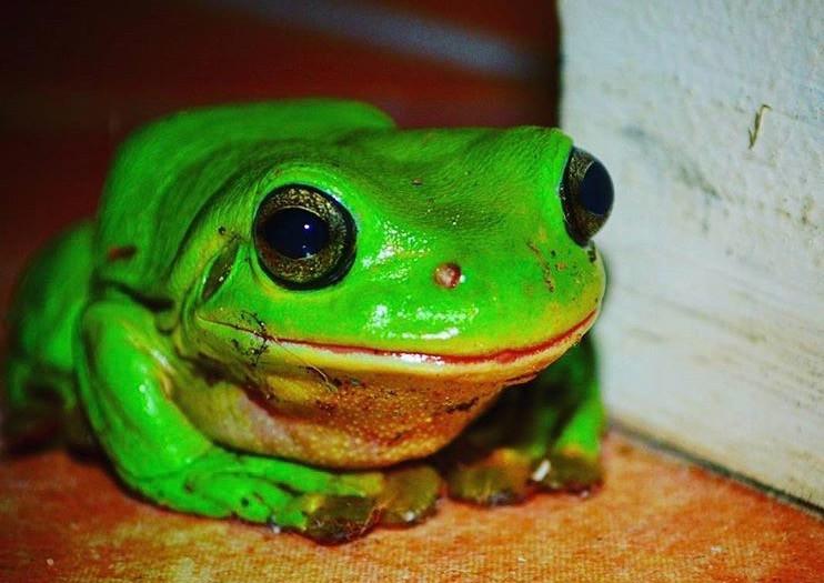 Frog in Darwin