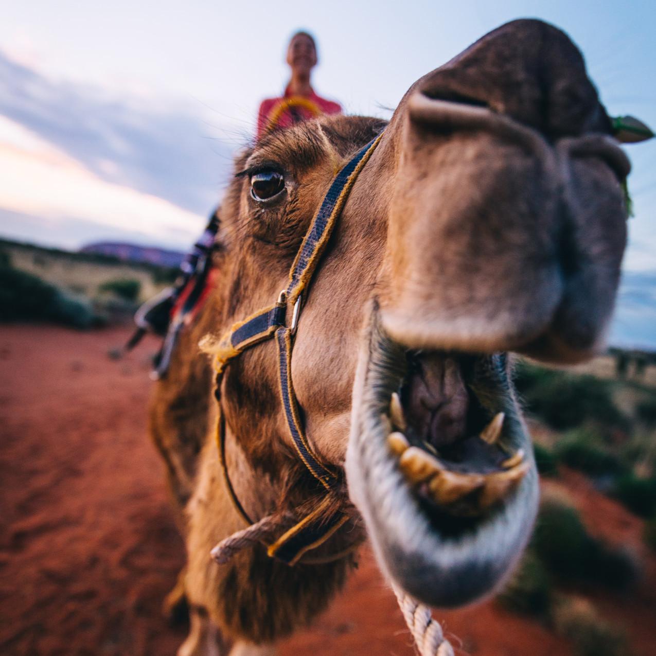 Camel riding at Uluru