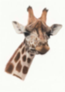 Giraffe very compressed for email.jpg