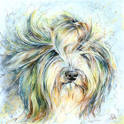 Womba - Bearded Collie