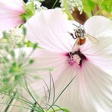Bee on mallow plant.jpg