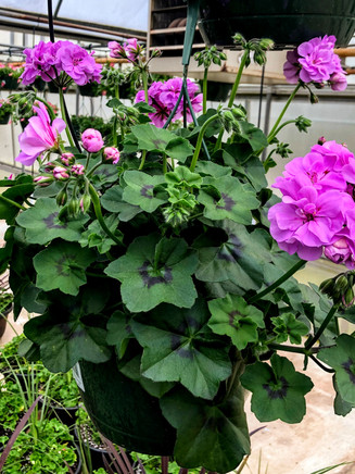 """10"""" Geranium Hanging Basket"""
