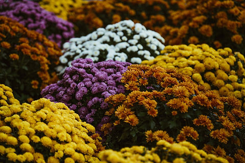 Fall Mums Blooming.jpg