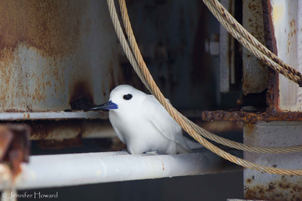 Nesting White Tern, Johnston Atoll