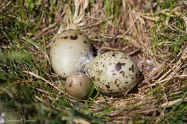 Tern Nest, Maine
