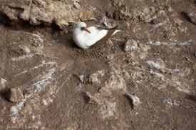 Nesting Nazca Booby, Isla Española
