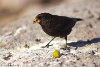 Darwin's Finch, Isla Española