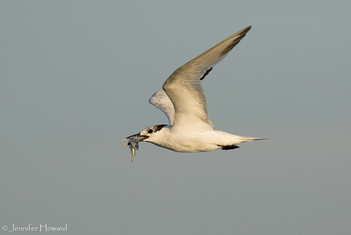 Sandwich Tern, North Carolina