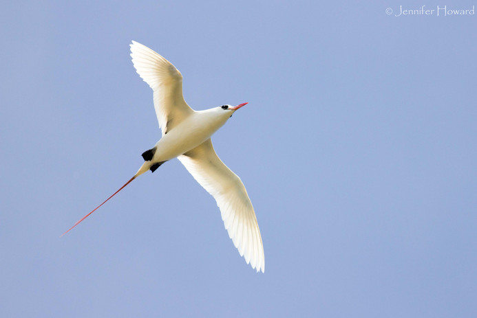 Red-Tailed Tropicbird, Johnston Atoll