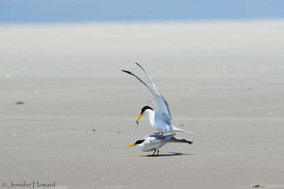 Mating Least Terns, North Carolina