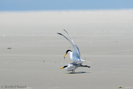 Mating Least Terns, North Carolina