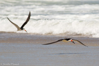 Two Black Skimmers, North Carolina