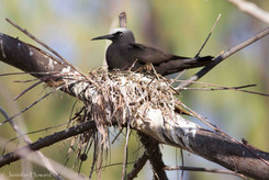Nesting Black Noddy, Johnston Atoll