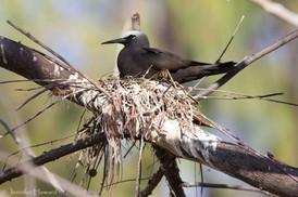 Nesting Black Noddy, Johnston Atoll