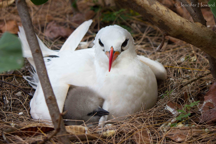 Red-Tailed Tropicbird Parent and Chick, Johnston Atoll