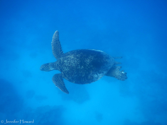 Swimming Green Sea Turtle, Johnston Atoll