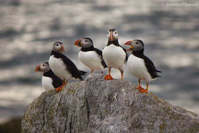 Atlantic Puffins, Maine