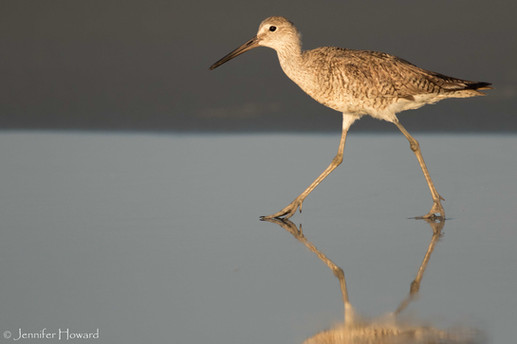Walking Willet, North Carolina