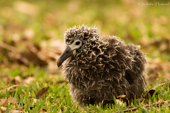 Laysan Albatross Chick, Kauai