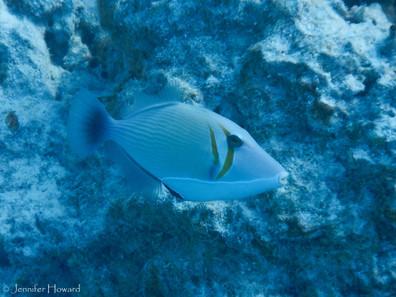 Lei Triggerfish, Johnston Atoll