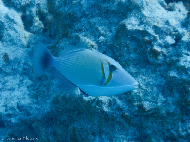 Lei Triggerfish, Johnston Atoll