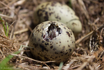 Hatching Tern Egg, Maine