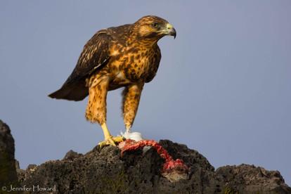 Galápagos Hawk, Isla Española