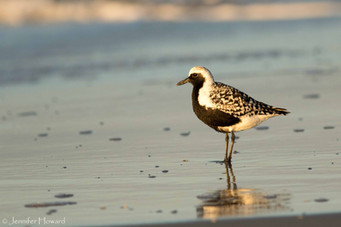 Black-Bellied Plover, North Carolina