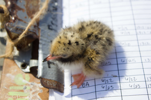 Tern Chick, Maine
